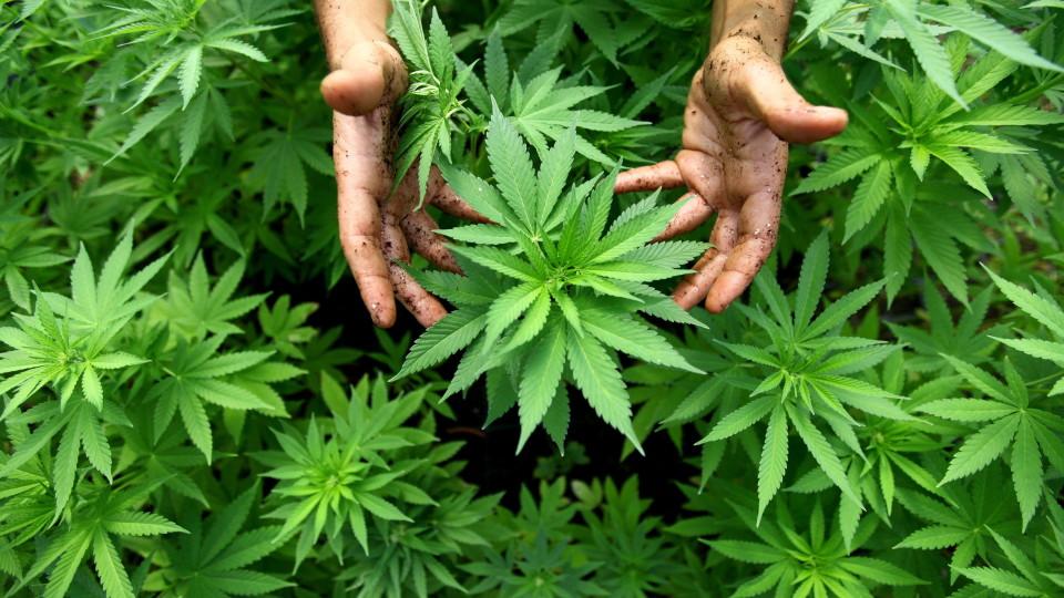 大麻とは何ですか?