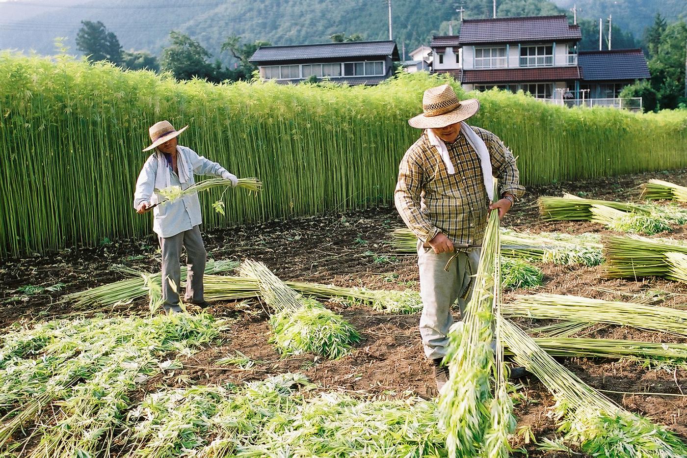 なぜ日本でマリファナが違法になったのか?
