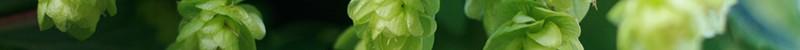 Caryophyllene-terpene-marijuana