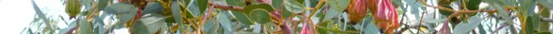 Eucalyptol-terpene-marijuana
