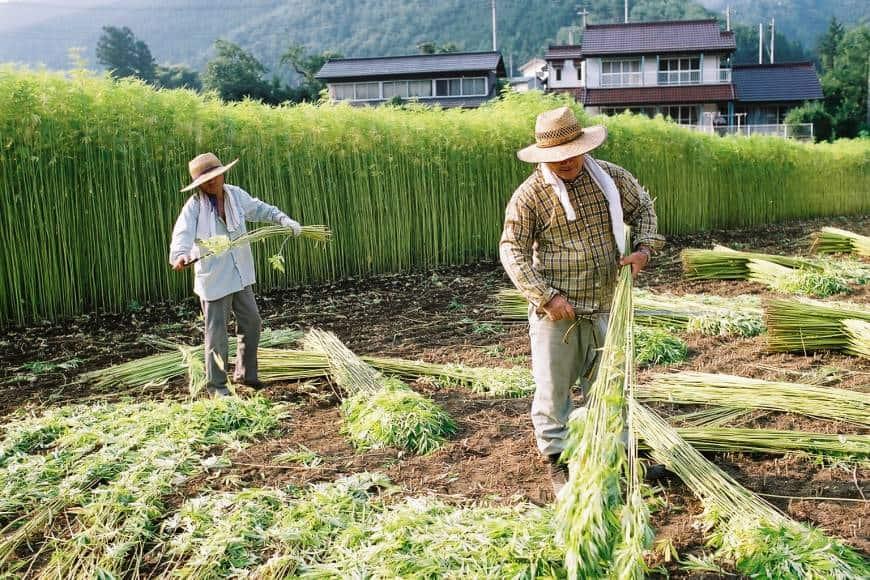 hemp-farmer