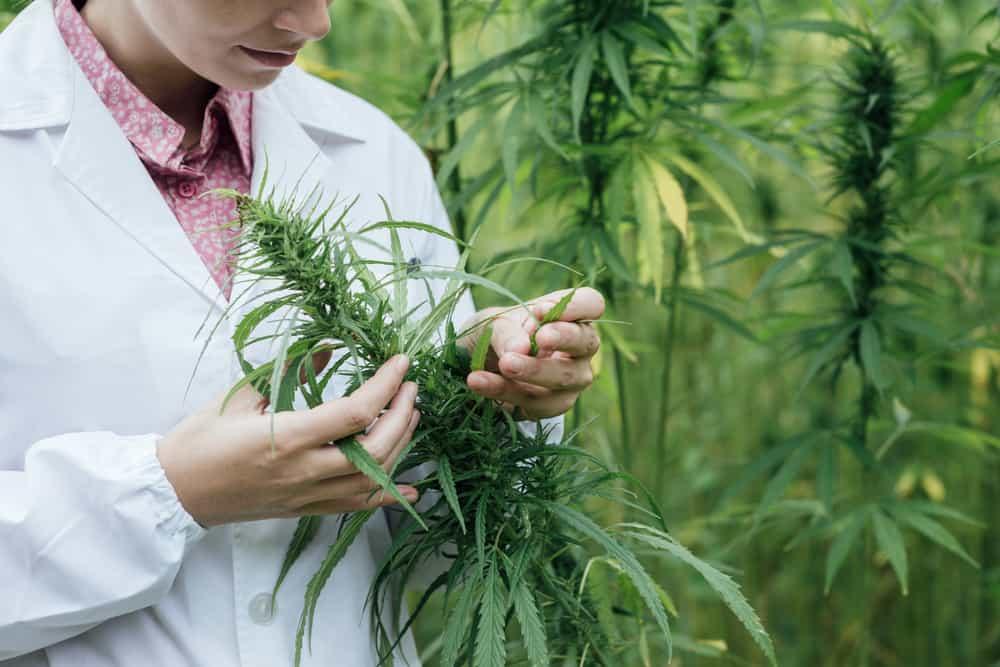 study-marijuana