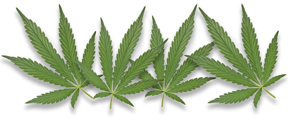 hemp-leaves