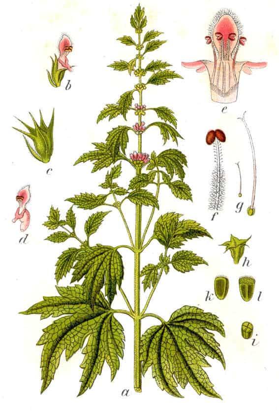 Motherwort-Herb