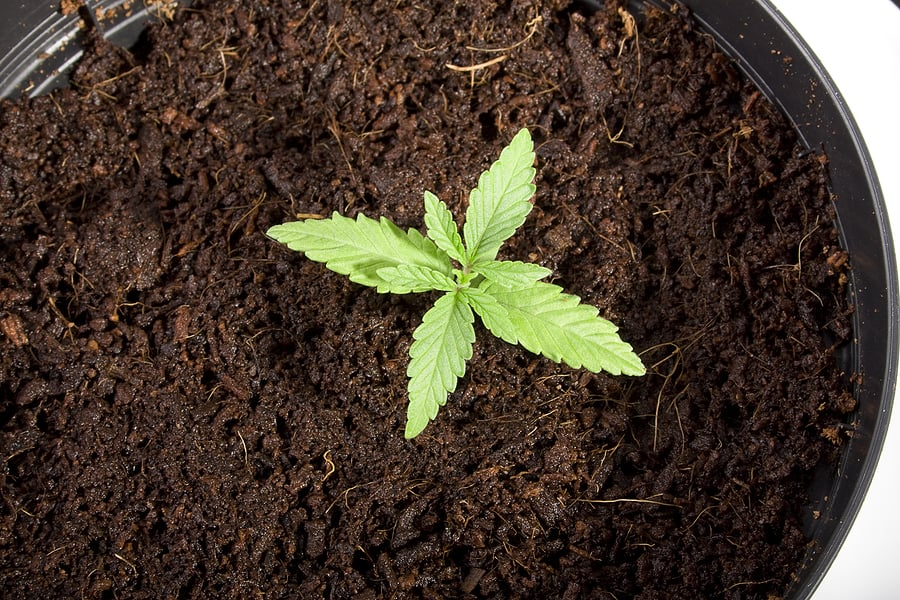 seedlingweed