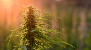 今だけ!【ホリデー割引】10%オフ「冬休みに大麻を学ぶ!」