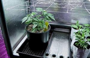 大麻を屋内栽培する部屋「グロウルーム/ボックス」の正しいサイズ