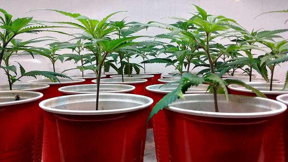 【大麻の繁殖・交配】家で簡単に!マリファナブリーディング