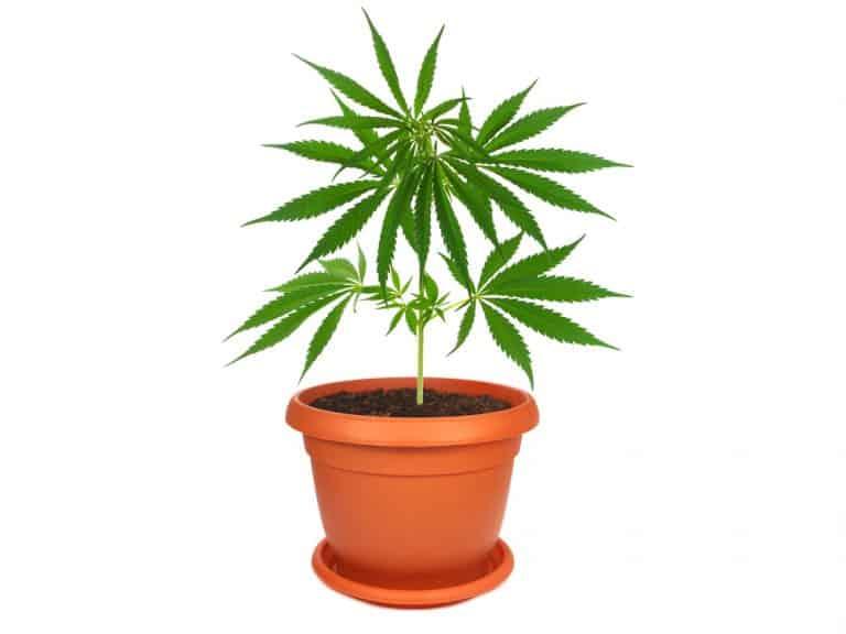 【大麻栽培】大麻はどうやって成長するの?~種から収穫まで~