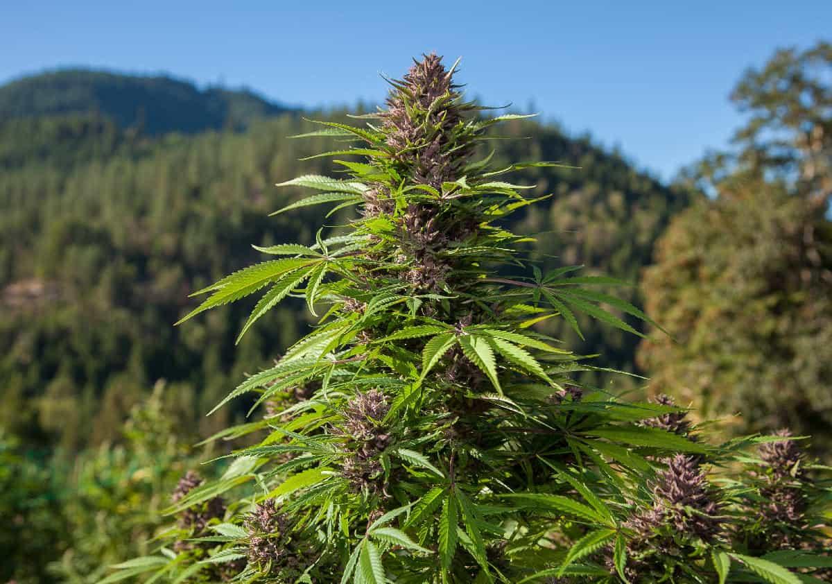大麻(マリファナ)を屋外栽培で育てる方法【初心者向けガイド】
