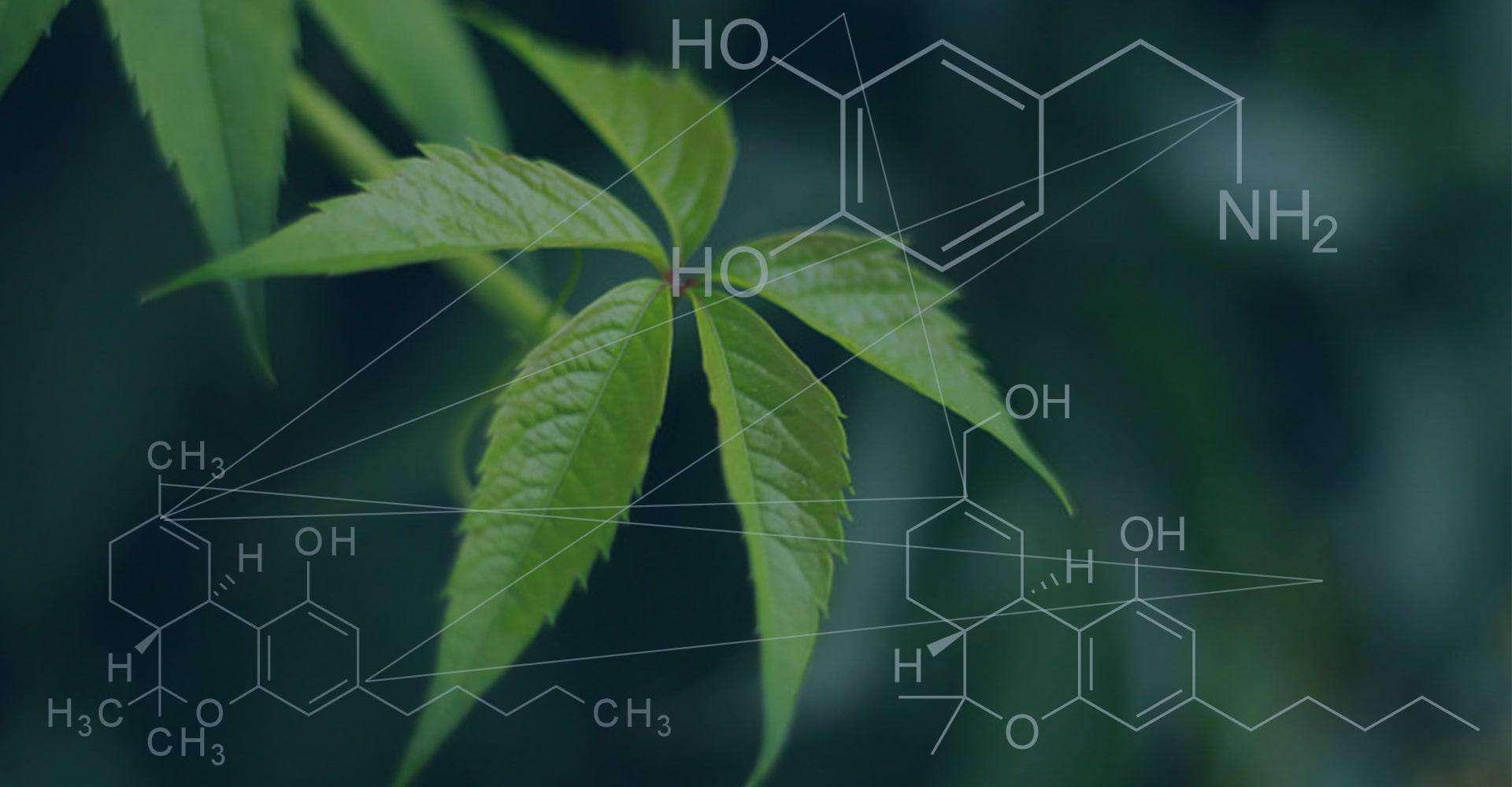 大麻の「側近(アントラージュ)効果」とは?どの様に作用するの?
