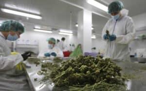 「コロナ(COVID-19)と大麻」医療大麻が世界を救う!?